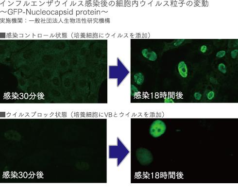インフルエンザウイルス感染後の細胞内ウイルス粒子の変動。通常のおしぼりと、VB処理したおしぼりの比較写真
